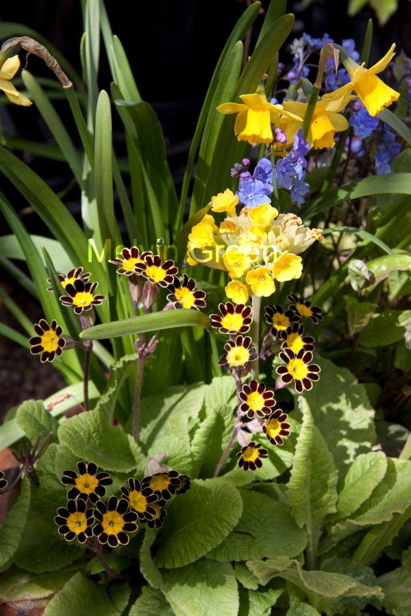 Bumble Bee Primrose  Primula (vulgaris) Flower
