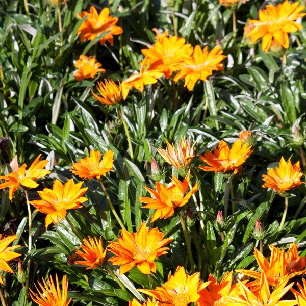 Gazania flower (Gazania linearis)