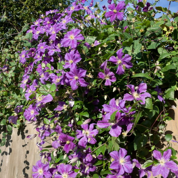 Clematis Flowers (clematis) Purple