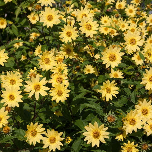 Leopards Bane (Doronicum)