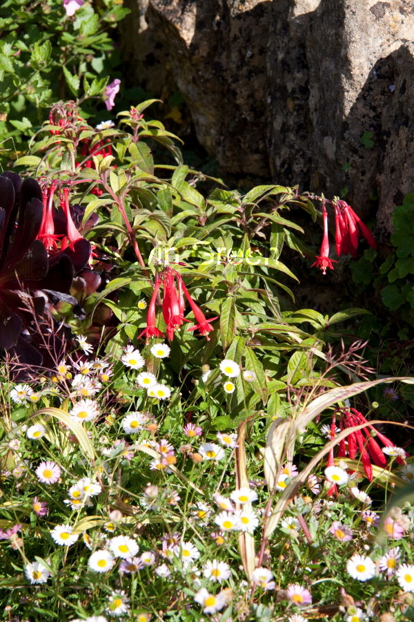 Fuchsia (Fuchsia) Flower and daises