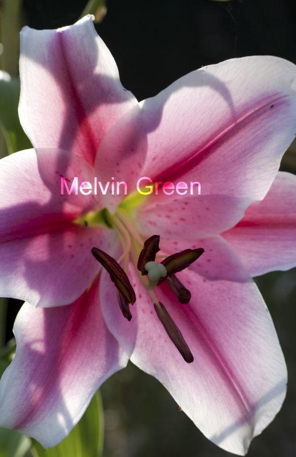 Asiatic Lily (Lilium) Flower