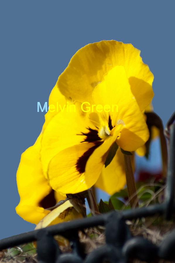 Pansy (Viola) Flower