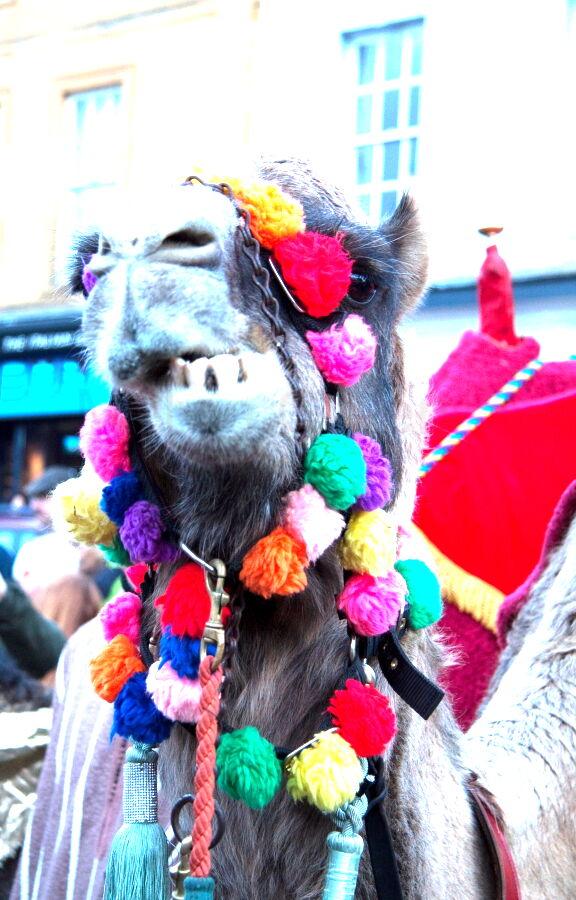 Camel at Christmas