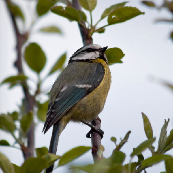 Blue Tit in Apple Tree