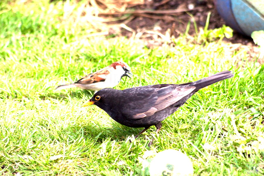 Black Bird and Sparrow