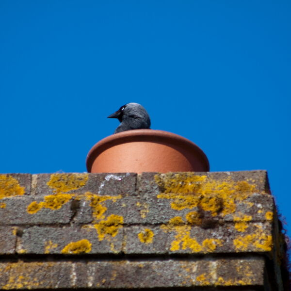 Crow looking out of Chimney Pot