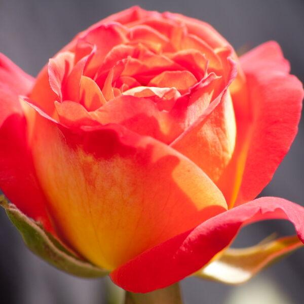 Red Rose (Rosa)