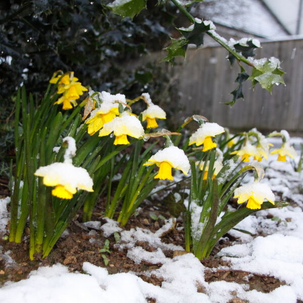 Daffodil Flowers ( Narcissus) in the Snow
