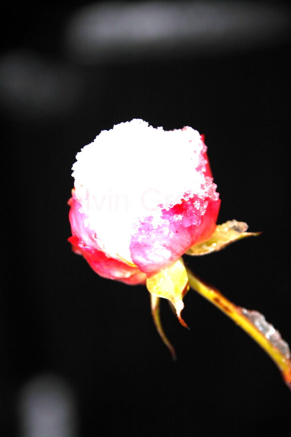 Rose (Rosa) in the Snow