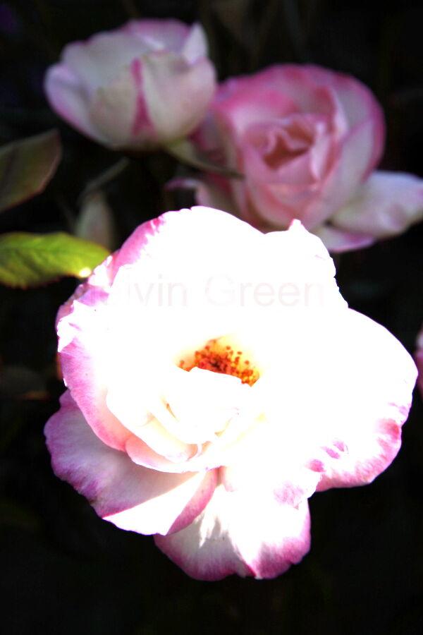 Pink Rose (Rosa)
