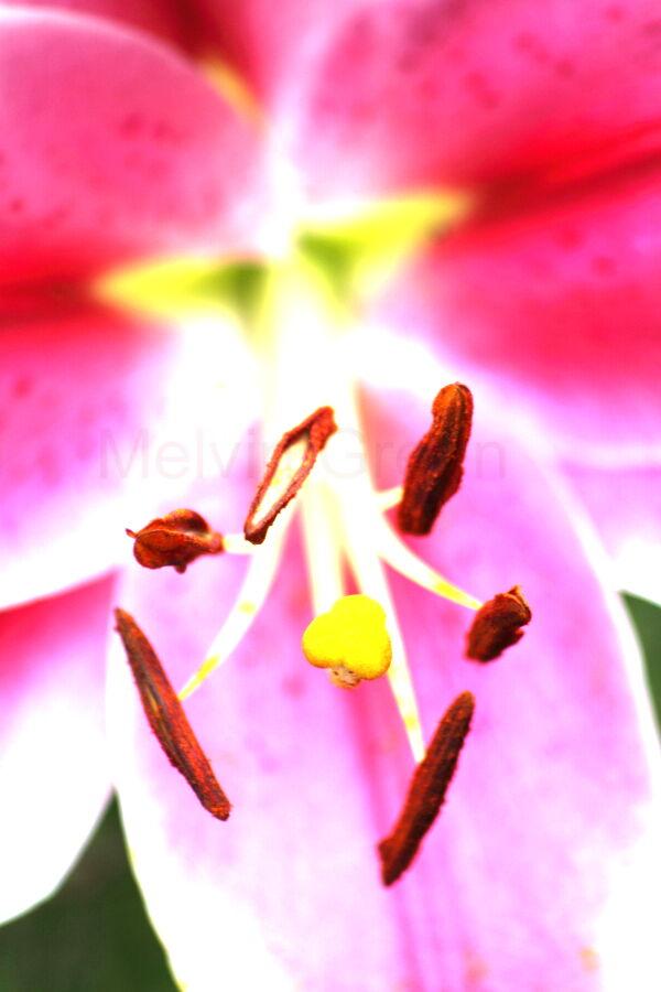 Asiatic Lily ( Lilium)