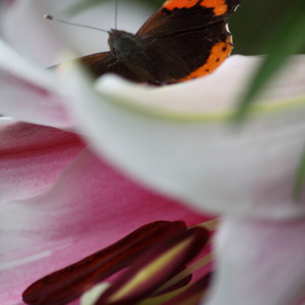Asiatic Lily with red admiral Butterfly