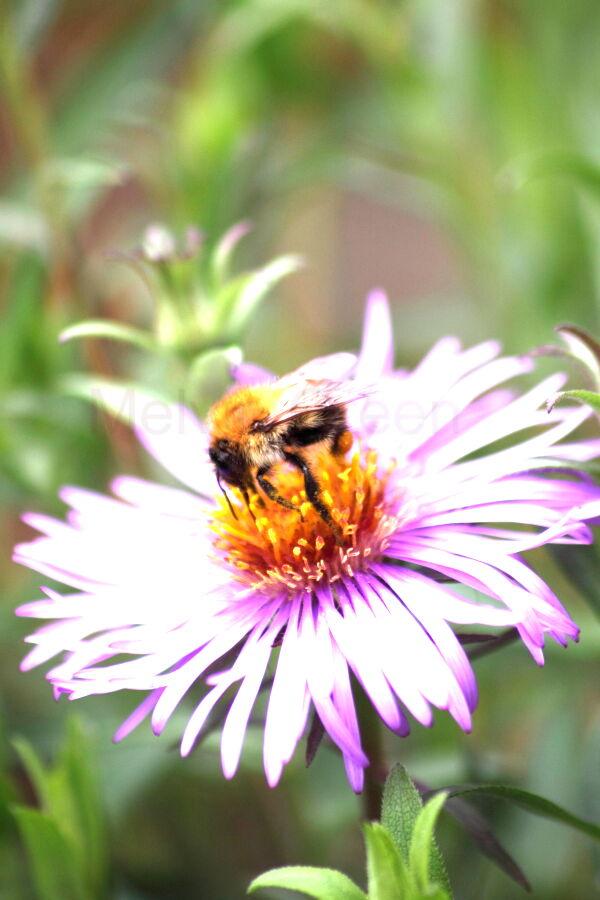 Honey Bee ( Apis) on Asta Flower