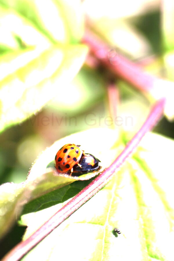 Ladybirds Mating (Coccinellidae)