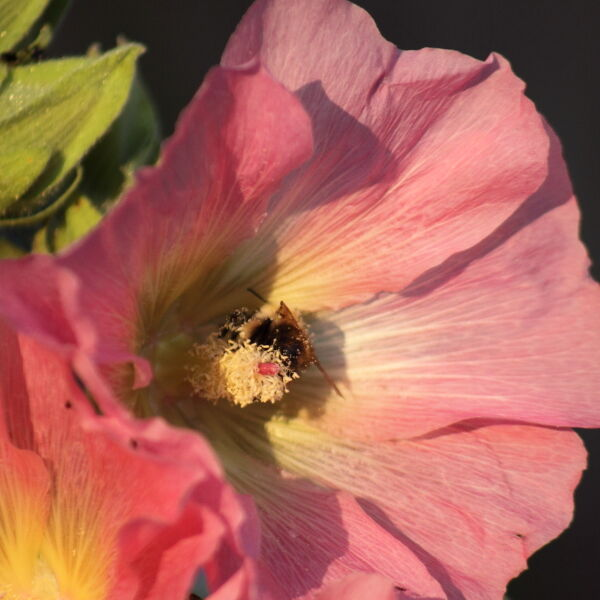 Wild Rose ( Rosa acicularis) with a Bee