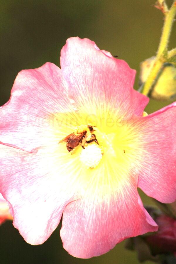 wild rose ( Rosa acicularis) with bee
