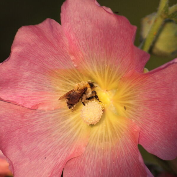 wild rose ( Rosa acicularis) with bee