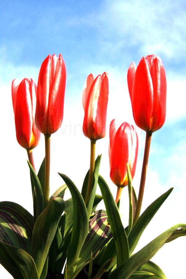 Tulips (Tulipa) Dwarf Hearts Delight