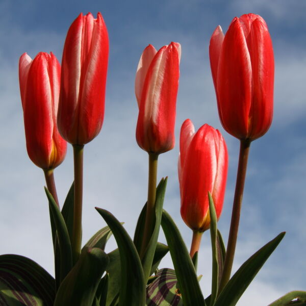 Tulips (Tulipa) Dwarf Hearts Delight