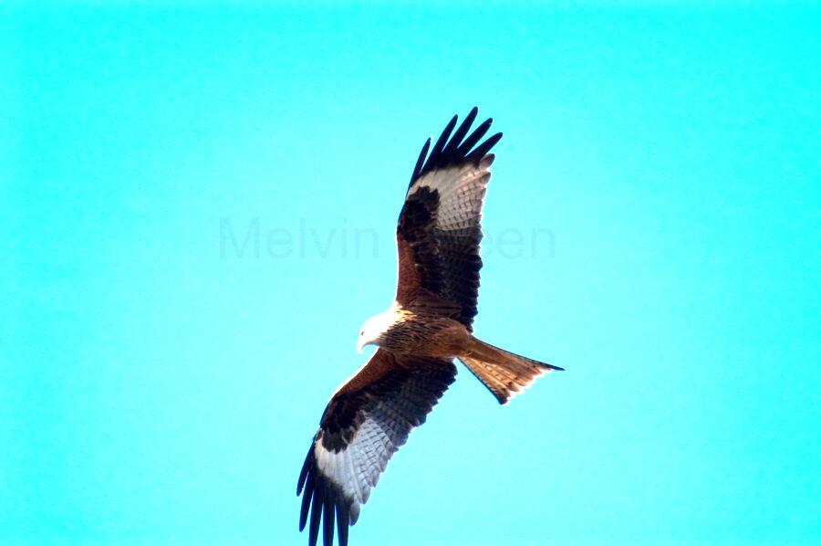 Red Kite ( Milvus milvus) Bird