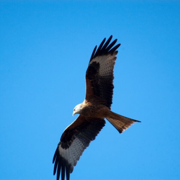 Red Kite ( Milvus milvus) Bird