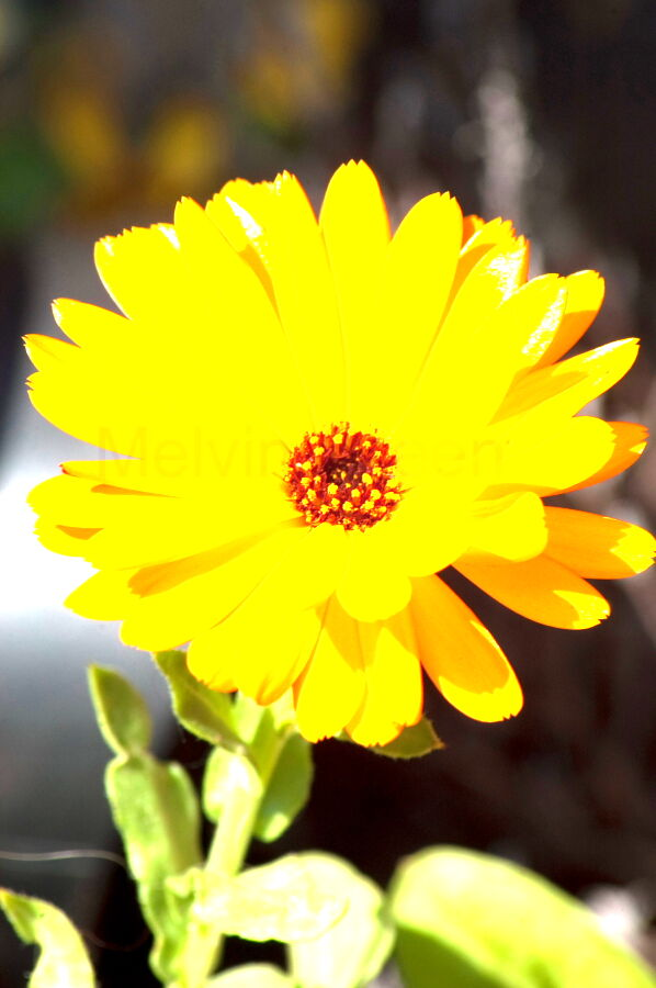 Orange Daisy Flowers ( Gerbera)