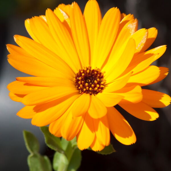 Orange Daisy Flowers ( Gerbera)