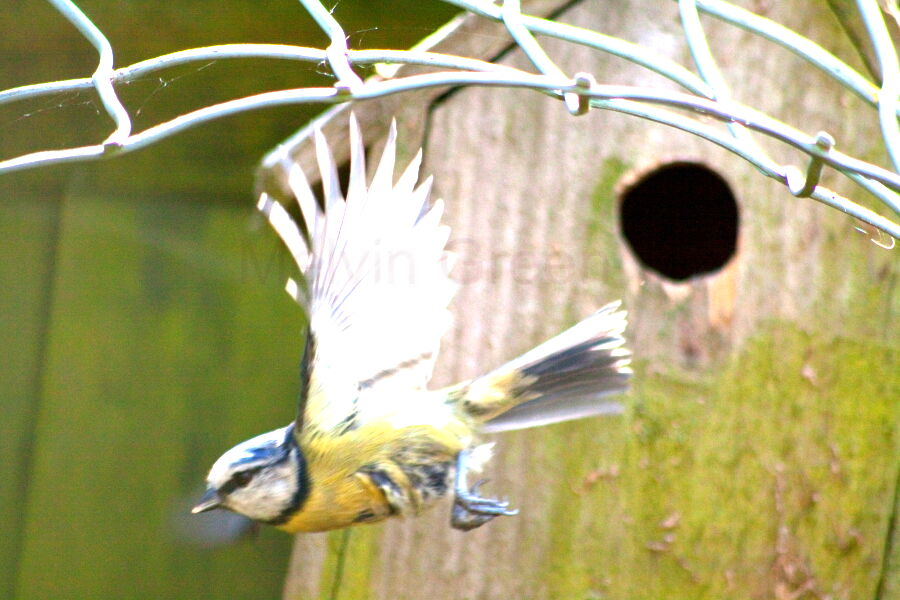 Blue Tit ( Cyanistes caeruleus) flying from nest hole