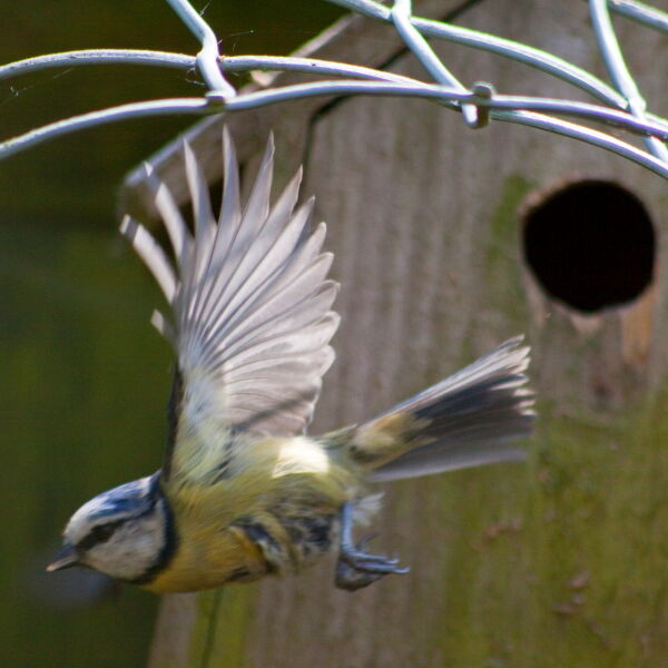 Blue Tit ( Cyanistes caeruleus) flying from nest hole
