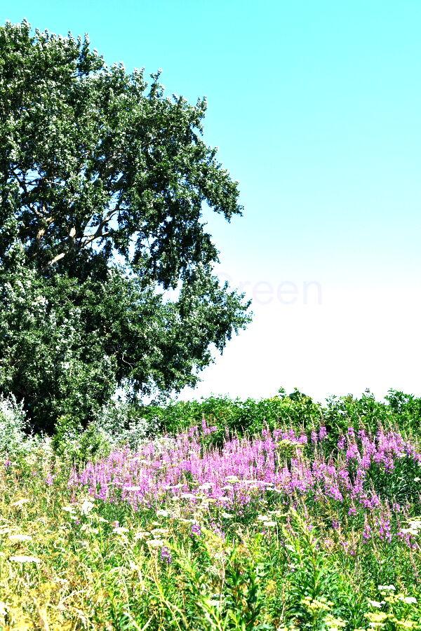 Hedgerow Verge Rosebay Willowherb (chamaenerion)