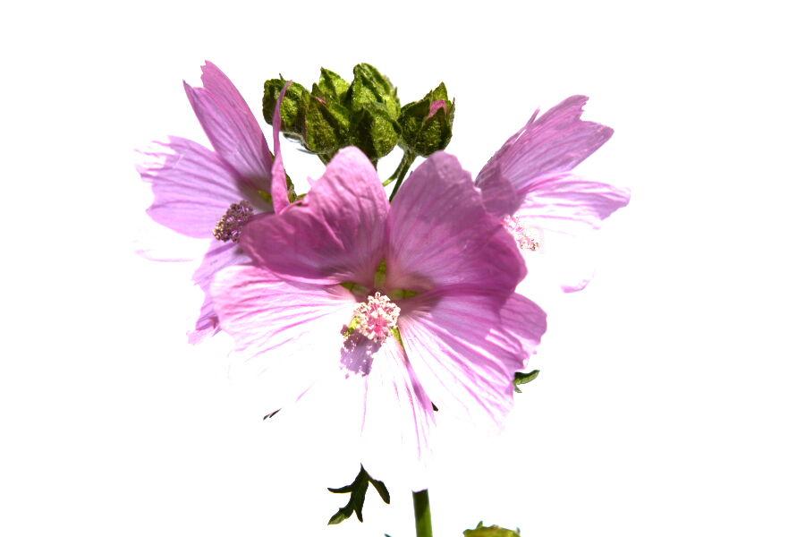 Musk Mallow (malva moschata-rosea) Flower