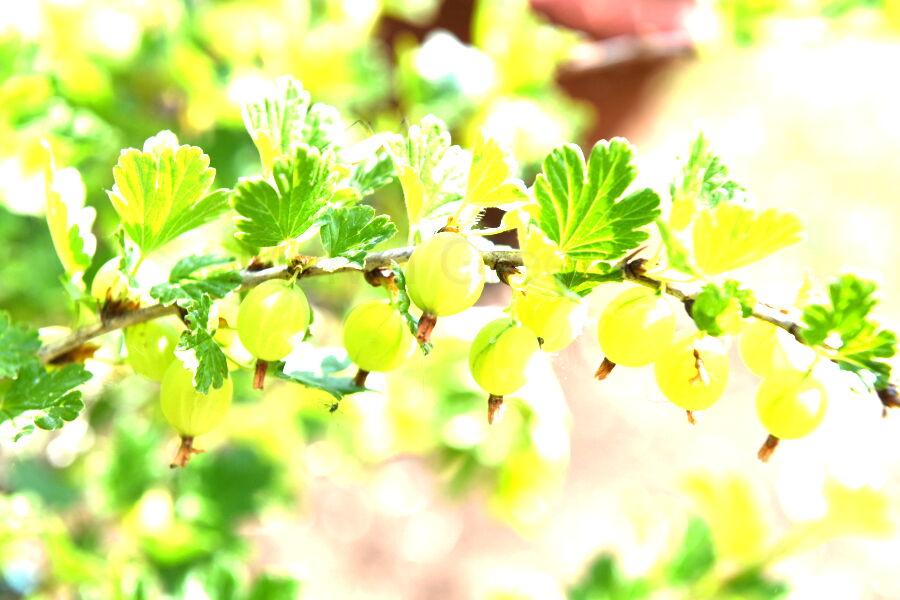 Gooseberry Plant ( Ribes uva-crispa)
