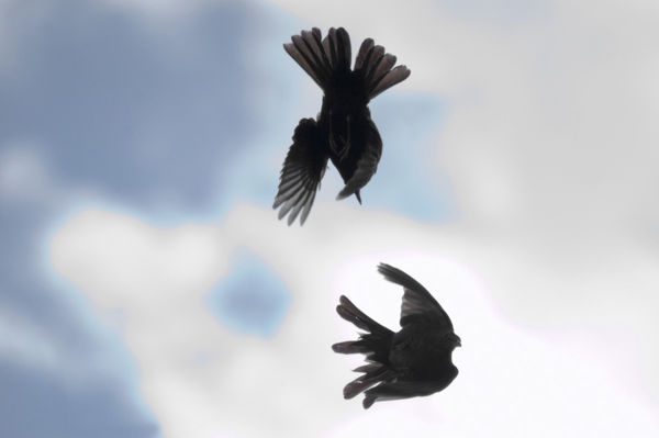 Blackbirds Fighting
