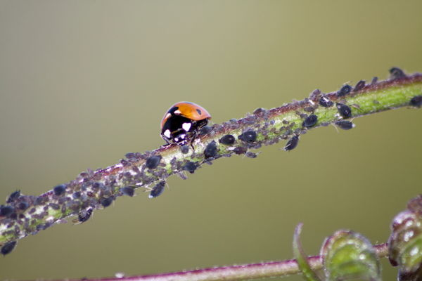 Lady Bird and Aphids
