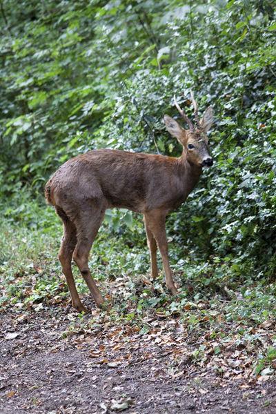 Wild Baby Deer