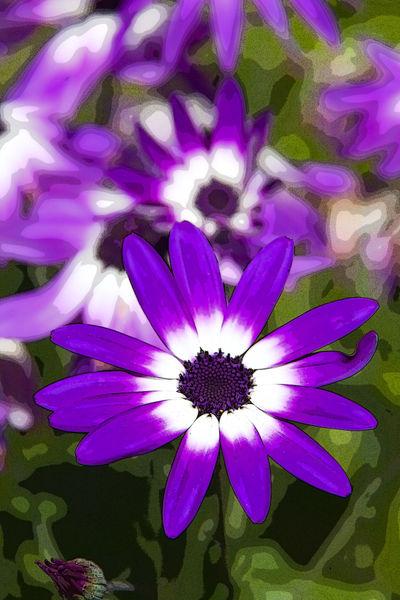 Daisy Flower (Bellis perennis)