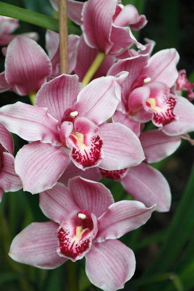 Orchid Flower (Orchidaceae)
