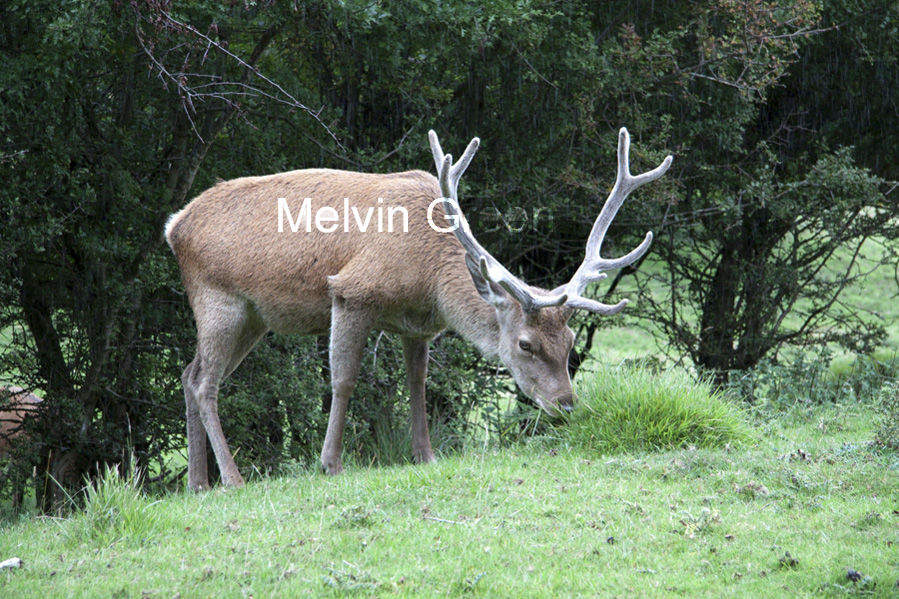 Male Deer