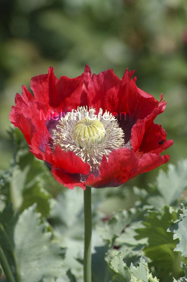 Poppy (Papaverales) Flower
