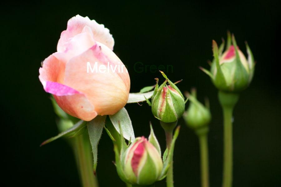Rose Budds