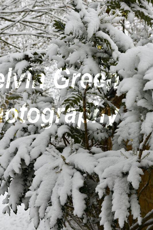 Holy Tree (Ilex) in the Snow