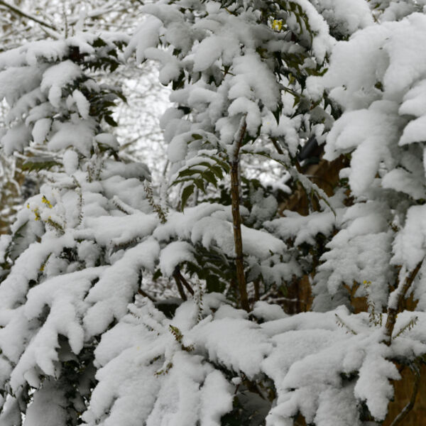 Holy Tree (Ilex) in the Snow