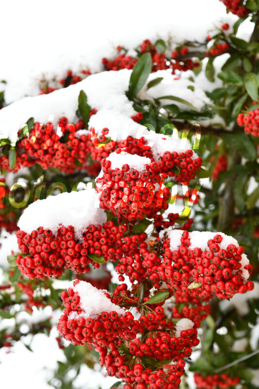 Pyracantha with red berries