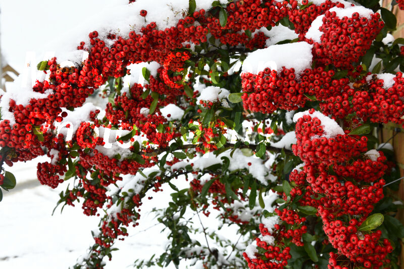 Pyracantha Bush with red Berries