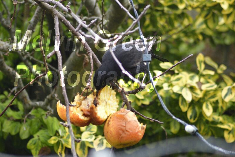Blackbird eating Apples