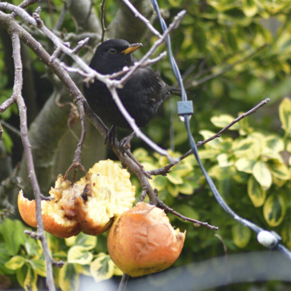 Blackbird eating apples
