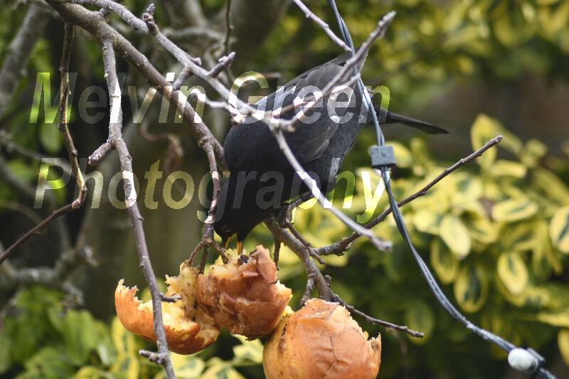 Blackbird (Turdus merula) eating apples