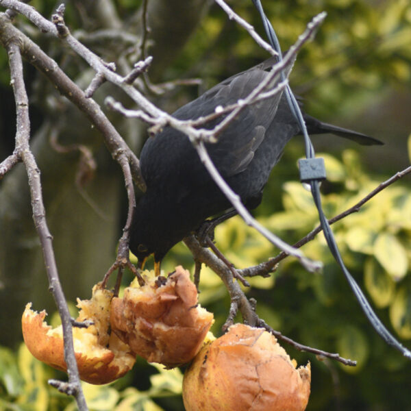 Blackbird (Turdus merula) eating apples