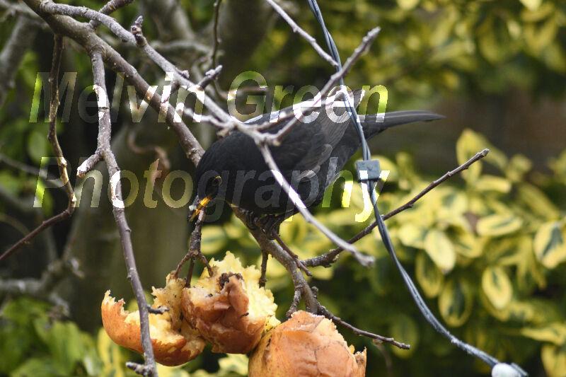 Blackbird ( Turdus merula) eating apples